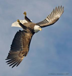 hemmings-upsidedown-eagle-sq-web