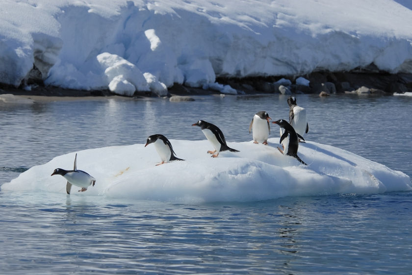 Gentoo Penguin playtime at your local iceberg, Antarctica