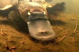 platypus underwater #1